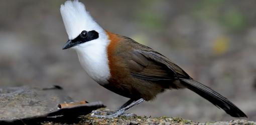 Laughing Thrush Bird