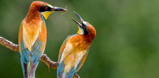 Himalayan Monal Bird