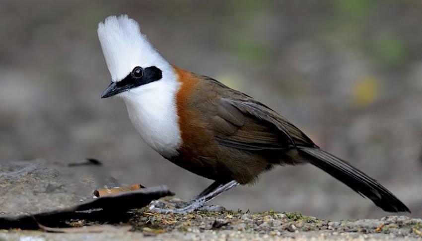 Laughing Thrush Bird