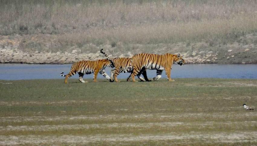 Tiger at Bardia